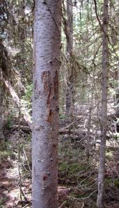 Bear evidence