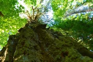 big tree V